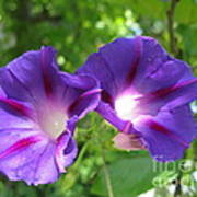 Morning Glory Couple Or 2 Purple Ipomeas Art Print