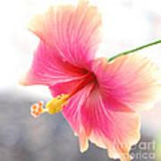 Morning Hibiscus In Gentle Light - Square Macro Art Print