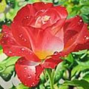 Morning Rose Art Print