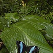 Morpho Butterfly In Rainforest Ecuador Art Print