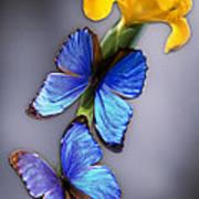 Morpho On Yellow Iris Art Print