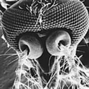 Mosquito Head Art Print
