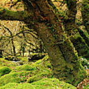 Moss Covered Trees In A Forest Art Print