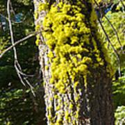 Moss On Tree Along Sentinel Dome Trail In Yosemite Np-ca Art Print