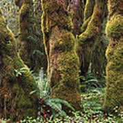 Mossy Big Leaf Maples In Hoh Rainforest Art Print