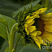 Mostly Open Sunflower Art Print