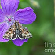 Moth Feeding On Geranium Sanguineum Art Print