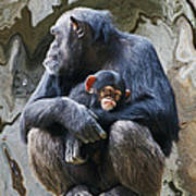 Mother And Child Chimpanzee 2 Art Print