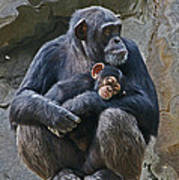 Mother And Child Chimpanzee Art Print