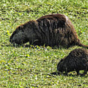 Mother And Child - Coypu - Nutria Art Print