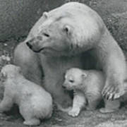 Mother Bear Shows Off Her Twin Babies. Tiyak And Tineak - Art Print