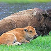 Mother Buffalo And Calf Yellowstone Art Print