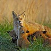 Mother Fox And Kits Art Print by William Jobes