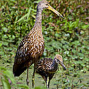 Mother Limpkin And Colt Art Print