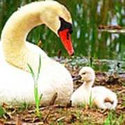 Mother Swan And Baby Art Print