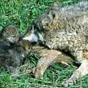 Mother Wolf Nuzzles Cubs Art Print