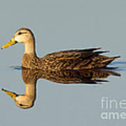 Mottled Duck Art Print