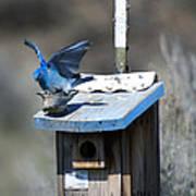 Mountain Bluebirds Mating Art Print