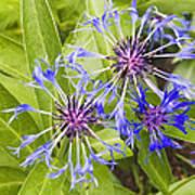 Mountain Bluet Flowers Art Print