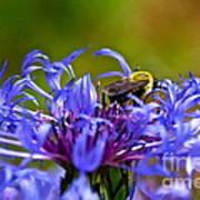 Mountain Cornflower And Bumble Bee Art Print by Byron Varvarigos