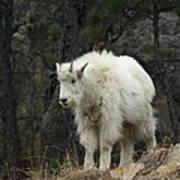 Mountain Goat Kid Art Print