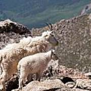 Mountain Goat Nanny And Kid Enloying The View On Mount Evans Art Print