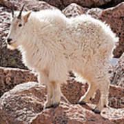 Mountain Goat On Mount Evans Art Print
