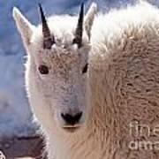 Mountain Goat Portrait On Mount Evans Art Print