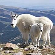 Mountain Goats - Quandary Peak Art Print