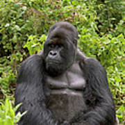 Mountain Gorilla Silverback Art Print