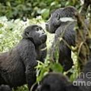 Mountain Gorillas Art Print