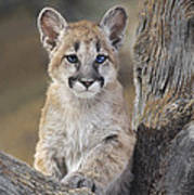 Mountain Lion Cub Art Print