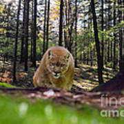Mountain Lion Stalking Art Print