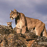 Mountain Lions Felis Concolor Art Print