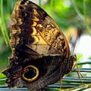 Mournful Owl Butterfly In Sunlight Art Print