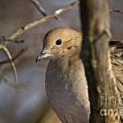 Mourning Dove Pictures 39 Art Print