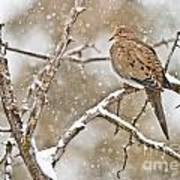 Mourning Dove Pictures 68 Art Print