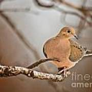 Mourning Dove Pictures 71 Art Print