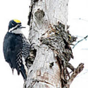 Mr. Black-bscked Woodpecker Art Print