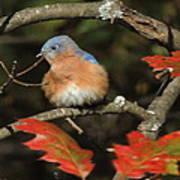 Mr Bluebird Art Print