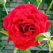 Mr Lincoln Rose Art Print