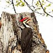Mr.pileated Poses Art Print