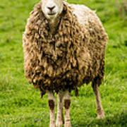 Mt Angel Abbey Sheep - Oregon Art Print