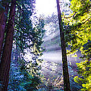 Muir Woods - Fog And Light Art Print