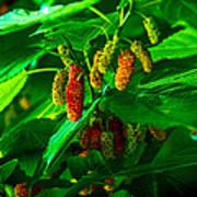 Mulberries - Fruit - Berries Art Print