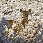 Mule Deer   #0061 Art Print