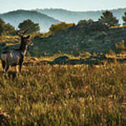 Mule Deer At De Weese Reservoir Art Print