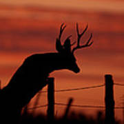 Mule Deer Buck Jumping Fence At Sunset Art Print