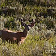 Mule Deer In Velvet   #2114 Art Print