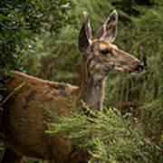 Mule Deer On Alert Art Print